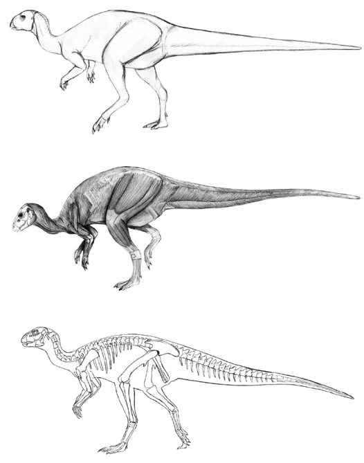 Reconstructing dinosaurs from skeletons