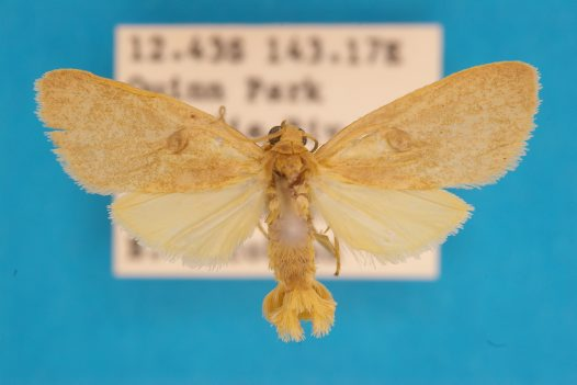 Lithosiinae Tylanthes ptochias male
