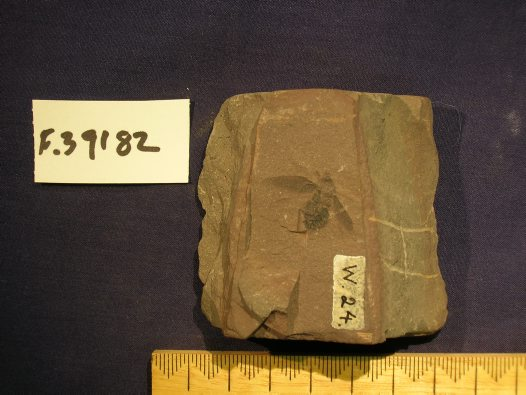 Fossil of un-named cockroach