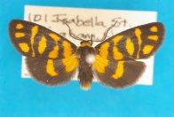 Lichen Moths (Arctiidae: Lithosiinae) - Australian Museum