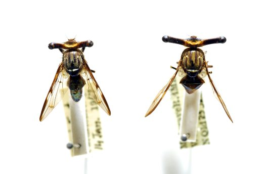 Male specimens of Stalk-eyed Signal Fly