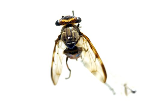 Female specimen of the Stalk-eyed Signal Fly