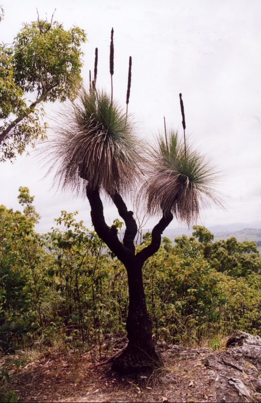 Grass tree, typical habitat Upside-down fly