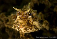 A Thornback Cowfish at Chowder Bay