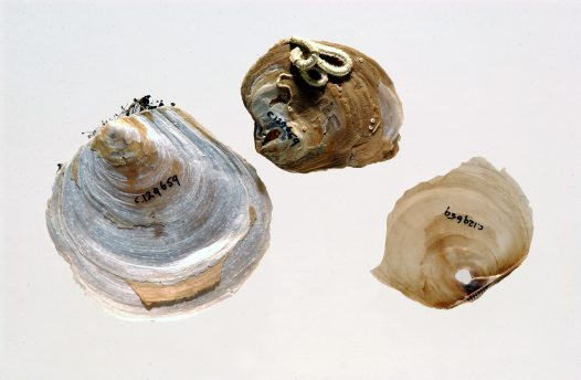 Pulvinitidae specimens