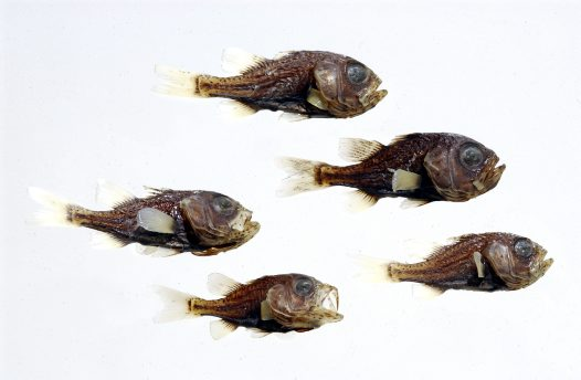 Striped Siphonfish specimens