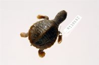 Mary River Turtle (hatchling)