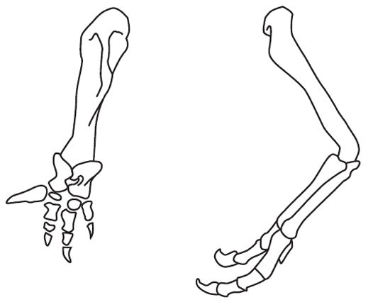 Forelimbs of T. rex and Carnotosaurus