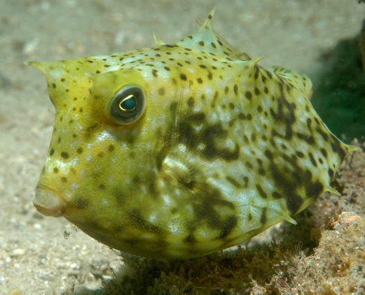 A Roundbelly Cowfish at 'The Pipeline'