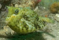 Roundbelly Cowfish, Lactoria diaphana