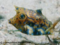 A Thornback Cowfish at Halifax Sponge Gardens