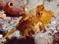 A Thornback Cowfish at 'The Pipeline'