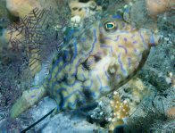 A Thornback Cowfish at Port Stephens