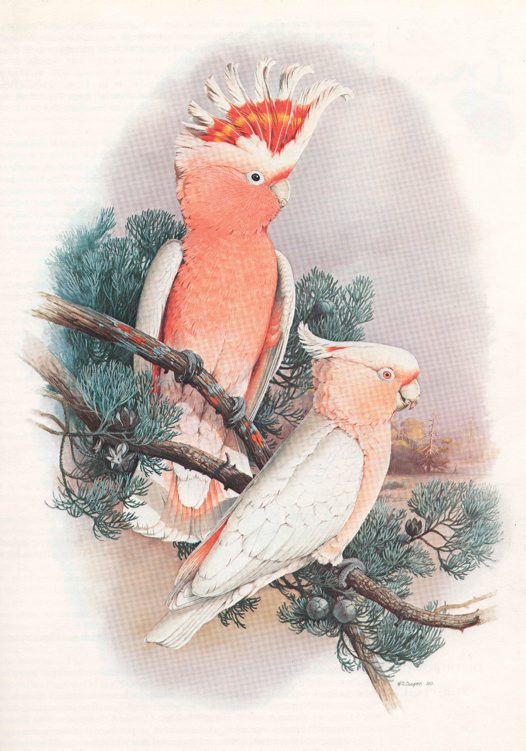 Major Mitchell's Cockatoo Illustration