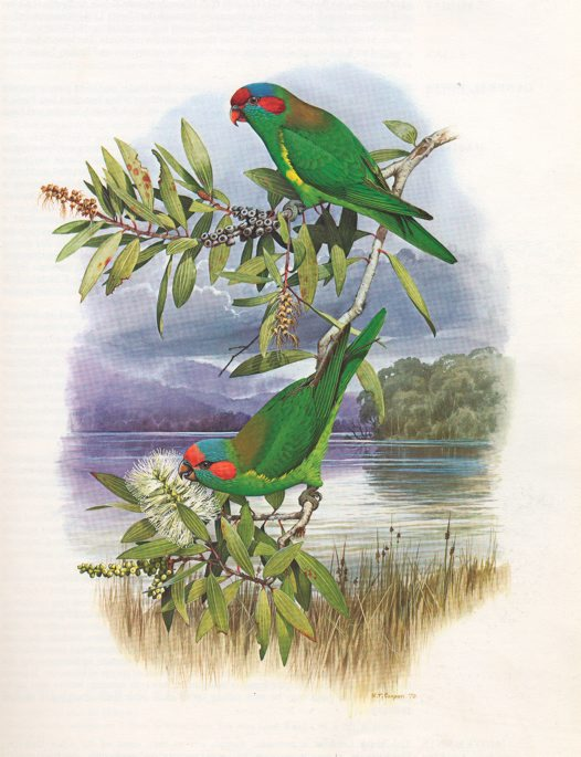 Musk Lorikeet Illustration