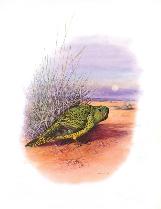 Illustration of the Night Parrot