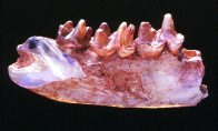 Opalised jaw of Steropodon galmani