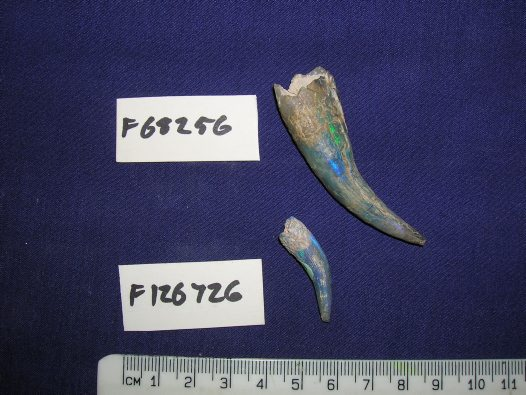 Opalised plesiosaur teeth