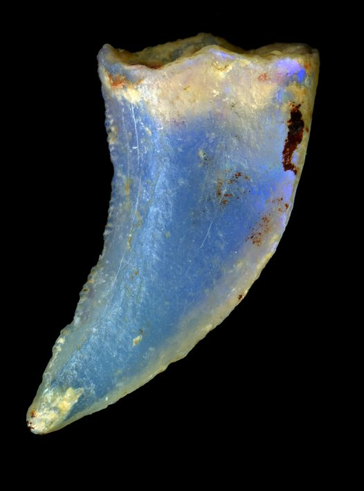 Opalised theropod dinosaur tooth