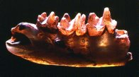 Opalised jaw of Steropodon, backlit