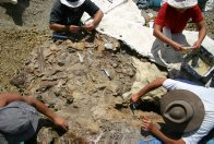Excavating Centrosaurus fossil slab