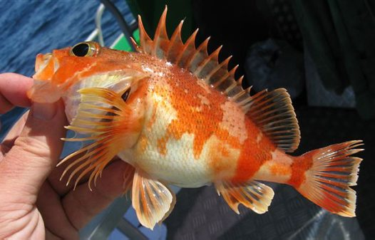A Reef Ocean Perch caught off Botany Bay
