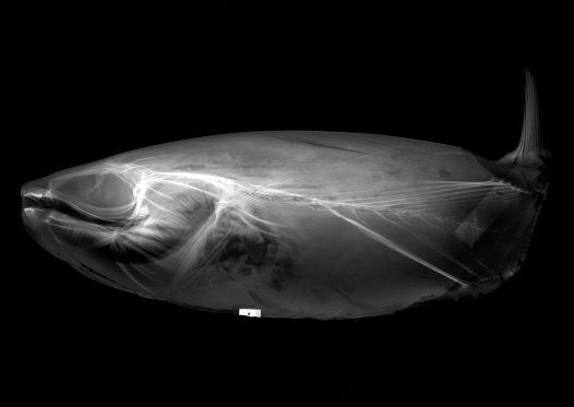 X-ray image of a Slender Sunfish