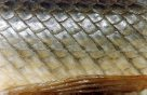 Ganoid scales of a Florida Gar