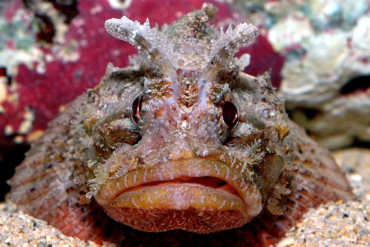 Mozambique Scorpionfish at Lord Howe Island