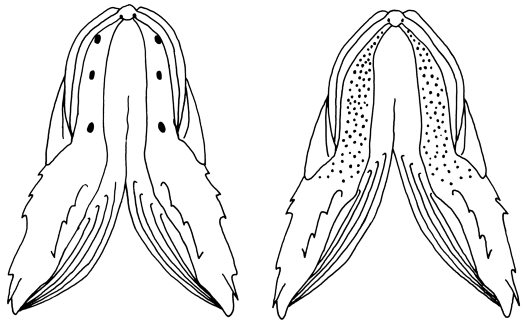 Ventral view of Gurnard Perch mandibles