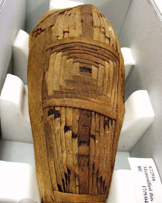 Ancient Egyptian mummified ibis