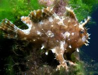 Sargassum Anglerfish on a mooring rope