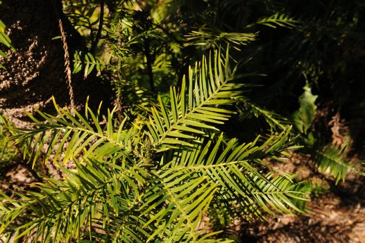 Wollemi Pine: close-up of leaves