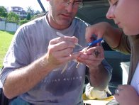 Applying radio transmitter to female Superb Fairy-wren
