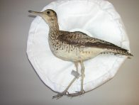 The only Upland Sandpiper (Bartramia longicauda) to have been collected in Australia