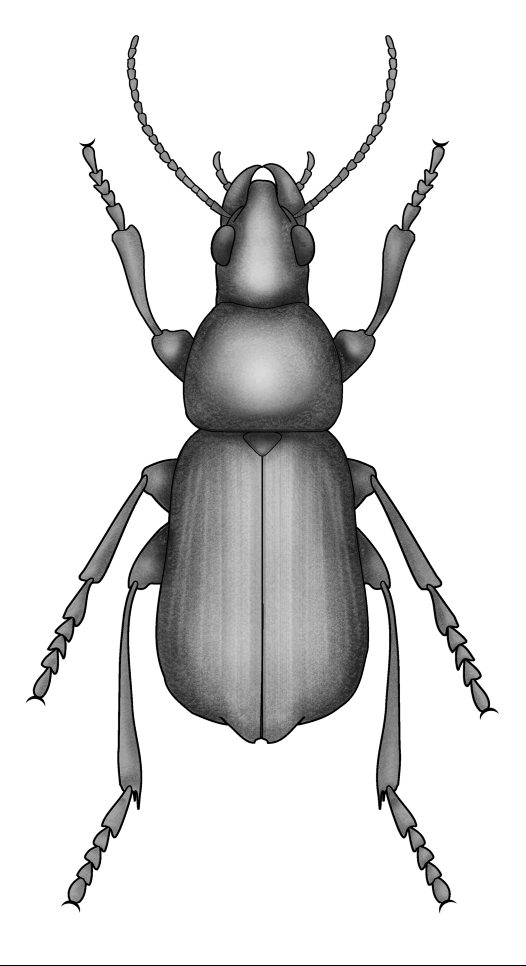 Beetles: Order Coleoptera - Australian Museum
