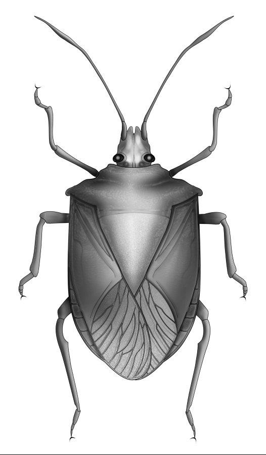 Shield Bug Drawing Image True Bug