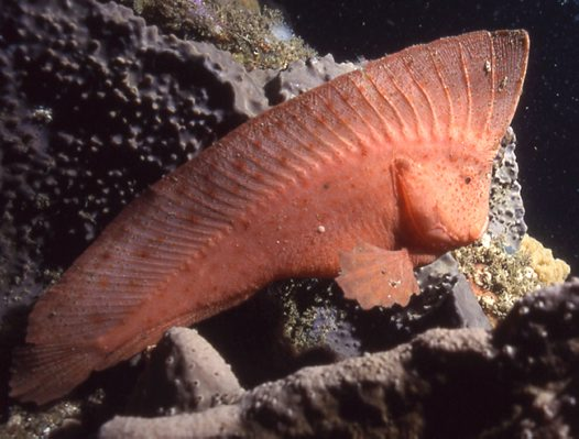 Red Indian Fish, Pataecus fronto