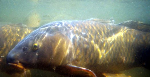 European Carp, Cyprinus carpio