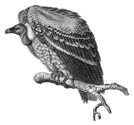 Vulture, illustration