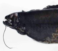Head of an Obese Dragonfish