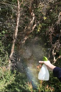Spraying an orb web