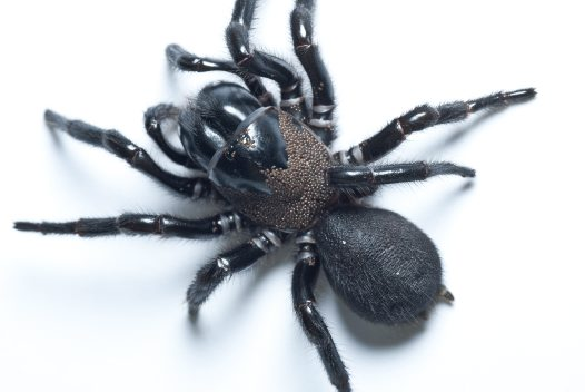 Funnel-web Spider with phoretic mites
