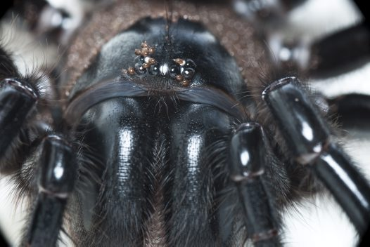 Close up of the head of a Funnel-web spider with mites