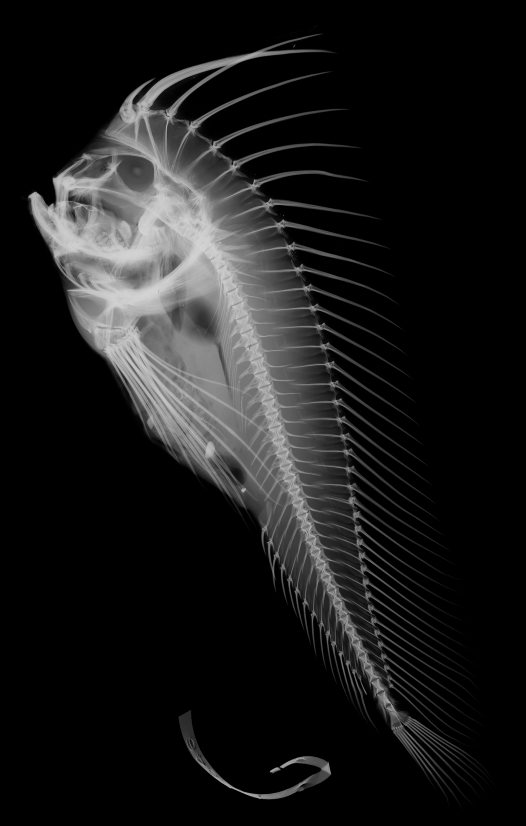 X ray image of a red indian fish australian museum for X ray fish