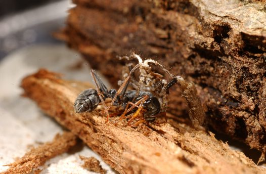 Feather-legged Assassin Bug feeding