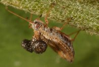 Lace bug, feeding