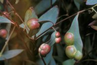 Galls on eucalypt leaves