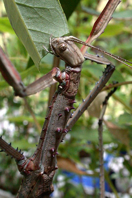 Stick insect, feeding