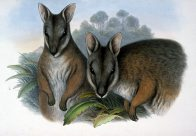 Derby's Wallaby Halmaturus derbanius